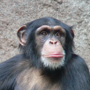 chimpanzee-animals-13168191-1001-1001